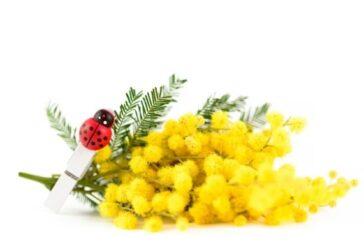 festa donna mimosa